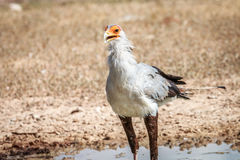 Secretary bird at a waterhole. Royalty Free Stock Photo