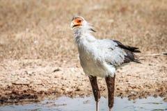 Secretary bird at a waterhole. Stock Photography