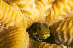 Secretary Blenny. In brain coral Royalty Free Stock Image