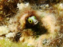 Secretary Blenny Royalty Free Stock Photos