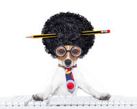Secretary dog. Jack russell secretary dog booking a reservation online using a pc computer laptop keyboard ,with crazy silly afro wig , pencil in hair, isolated Royalty Free Stock Photography