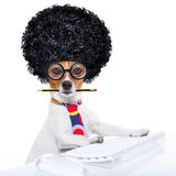 Secretary dog. Jack russell secretary dog booking a reservation online using a pc computer laptop keyboard ,with crazy silly afro wig , pencil in mouth, isolated Royalty Free Stock Photography