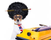 Secretary typewriter  dog. Jack russell secretary dog typing on a typewriter keyboard  , isolated on white background, wearing a crazy afro wig Royalty Free Stock Image