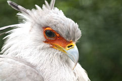 Secretarybird或蛇鹫 库存照片
