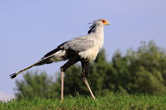 Secretarybird Obraz Royalty Free