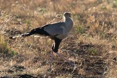Secretarybird. Walking through the savanna Stock Images