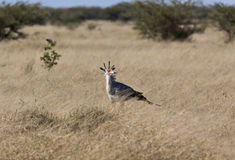 Secretarybird - Botswana Royalty Free Stock Images