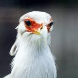Secretarybird Royalty Free Stock Image