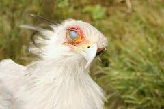 Secretarybird, das sein Auge befestigt Stockfoto