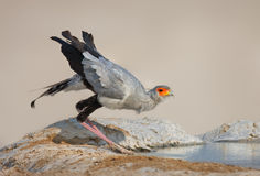 Secretarybird drink water Stock Photography