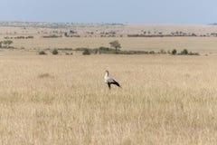Secretarybird eller sekreterarefågel i savannahen av Arkivfoto