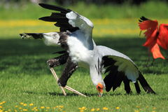 Secretarybird Stock Photography