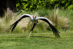 Secretarybird lub sekretarki ptaka Sagittarius serpentarius w fl fotografia stock