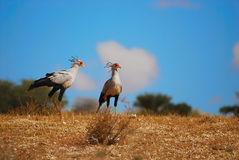 Secretarybird (Sagittarius serpentarius). The Secretarybird or Secretary Bird (Sagittarius serpentarius) is a large, mostly terrestrial bird of prey. It is Stock Image