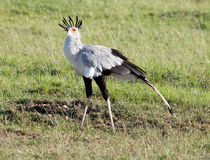 Secretarybird (Sagittarius serpentarius) Stock Photo