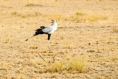 Secretarybird, Sagittarius serpentarius, in grasslands of Africa. Secretarybird, Sagittarius serpentarius, in grasslands of Africa Stock Photography