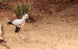 Secretarybird Sagittarius serpentarius. Is a large bird from Africa that stomps on sneaks and then eats them Royalty Free Stock Image