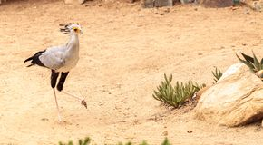 Secretarybird Sagittarius serpentarius. Is a large bird from Africa that stomps on sneaks and then eats them Royalty Free Stock Photography