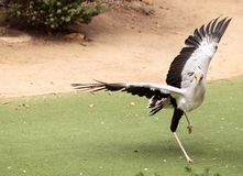 Secretarybird Sagittarius serpentarius. Is a large bird from Africa that stomps on sneaks and then eats them Royalty Free Stock Photos