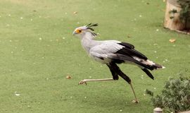 Secretarybird Sagittarius serpentarius. Is a large bird from Africa that stomps on sneaks and then eats them Stock Images