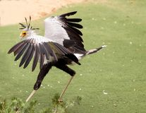 Secretarybird Sagittarius serpentarius. Is a large bird from Africa that stomps on sneaks and then eats them Stock Photos