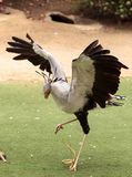Secretarybird Sagittarius serpentarius. Is a large bird from Africa that stomps on sneaks and then eats them Stock Photo