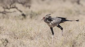 Secretarybird Running. Secretarybird, Sagittarius serpentarius, is running in arid field near Yabello, Ethiopia, Africa royalty free stock images