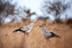 Secretarybird (Sagittarius serpentarius). The Secretarybird or Secretary Bird (Sagittarius serpentarius) is a large, mostly terrestrial bird of prey. It is Royalty Free Stock Photography
