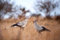 Secretarybird (Sagittarius serpentarius). Secretarybirds (Sagittarius serpentarius) walking in the african savanna Royalty Free Stock Image