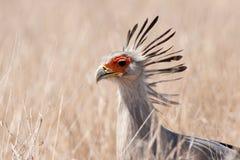Secretarybird (Sagittarius serpentarius). Walking in the african savanna Stock Image