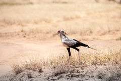 Secretarybird Stock Images