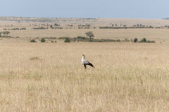 Secretarybird of secretaressevogel in de savanne van Stock Foto
