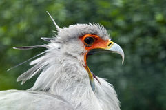 Secretarybird or secretary bird Stock Images