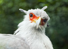 Secretarybird or secretary bird Stock Image
