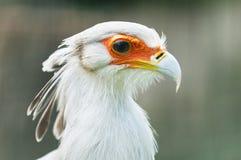 Secretarybird or secretary bird Stock Photography