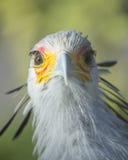 SecretaryBird. Secretary Bird / Secretarybird Front View Royalty Free Stock Photos