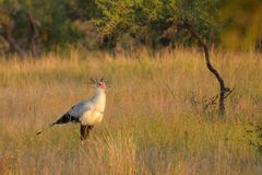 Secretarybird or Secretary Bird (Sagittarius serpentarius) Stock Photo