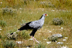 Secretarybird Royalty Free Stock Images