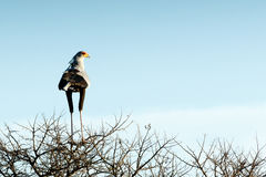 Secretarybird. The secretarybird or secretary bird is a very large, mostly terrestrial bird of prey. Endemic to Africa, it is usually found in the open Royalty Free Stock Photos