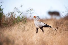 Secretarybird (serpentarius de Sagittaire) Photographie stock libre de droits