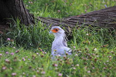 Secretarybird Stock Photos