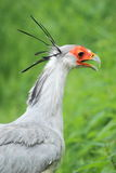 Secretarybird Stock Photo