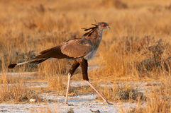 Secretarybird walks in the Bush Stock Image