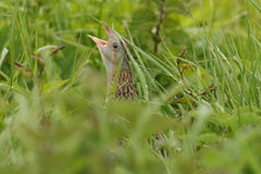 A secretive rare Corncrake (Crex crex) rasping on a rainey day hiding in the undergrowth. Royalty Free Stock Image