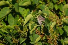 Secretive warbler Stock Image
