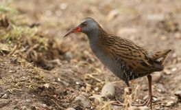 A stunning secretive Water Rail Rallus aquaticus searching for food along the bank of a lake. A secretive Water Rail Rallus aquaticus searching for food along royalty free stock photo