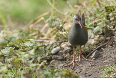 A stunning secretive Water Rail Rallus aquaticus searching for food along the bank of a lake. A secretive Water Rail Rallus aquaticus searching for food along royalty free stock images