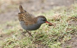 A stunning secretive Water Rail Rallus aquaticus searching for food along the bank of a lake. A secretive Water Rail Rallus aquaticus searching for food along stock image