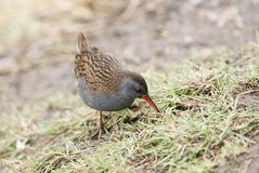 A stunning secretive Water Rail Rallus aquaticus searching for food along the bank of a lake. A secretive Water Rail Rallus aquaticus searching for food along stock photo
