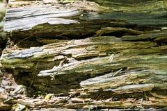 Secretos de un ?rbol viejo caido en el bosque foto de archivo
